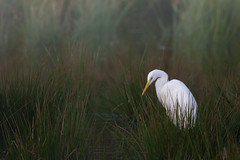 Matin calme ... (kookaburra 81) Tags: oiseau grandeaigrette tarn ardeaalba ardéidés pélécaniformes westerngreategret bird