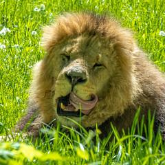 XT2F4678 (James Ito) Tags: animal england longleat longleatsafaripark places lion warminster unitedkingdom