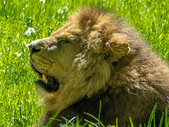 XT2F4672 (James Ito) Tags: animal england longleat longleatsafaripark places lion warminster unitedkingdom
