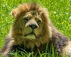 XT2F4661 (James Ito) Tags: animal england longleat longleatsafaripark places lion warminster unitedkingdom
