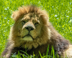 XT2F4660 (James Ito) Tags: animal england longleat longleatsafaripark places lion warminster unitedkingdom