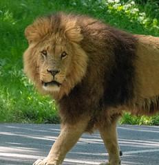 XT2F4634 (James Ito) Tags: animal england longleat longleatsafaripark places lion warminster unitedkingdom