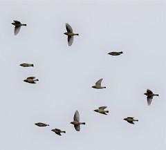 Flock of Bohemian Waxwings. (Gillian Floyd Photography) Tags: flock bohemian waxwings