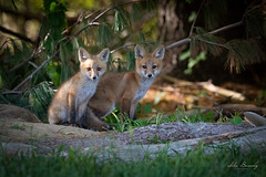 Red Fox Kits (johnbacaring) Tags: redfoxkits redfox fox kits red wildlife nature canon canonphotography natgeo