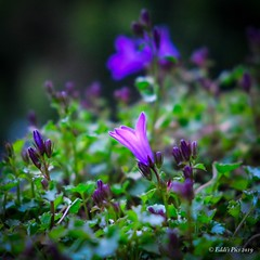 The solitaire... (Eddi Frigo) Tags: xt3 fujifilm fiori nature flowers flower