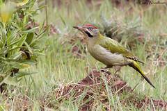 Levaillant's Woodpecker - Aurocher, Morocco (Gary Woodburn) Tags: levaillants woodpecker green ground male atlas mountains morocco canon 5d mk iv mk5 sigma 500mm f45 hsm