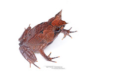 Megophrys nasuta (Matthieu Berroneau) Tags: megophrys nasuta megophrysnasuta grenouille cornue asiatique grenouillecornueasiatique longnosed horned frog longnosedhornedfrog toad amphibian mimétisme mimetism sony alpha ff 24x36 macro nature wildlife animal fe 90 f28 g oss fe90f28macrogoss sonya7iii sonya7mk3 sonyalpha7mark3 sonyalpha7iii a7iii 7iii 7mk3 sonyilce7m3 sonyfesonyfe2890macrogoss objectifsony90mmf28macrofe sel90m28g herp herping trip malaysia malaisie borneo bornéo blanc fond white fondblanc highkey high key hybrid textbook fondo blanco fondoblanco