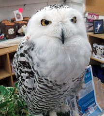 Elsa,the snowy owl (billnbenj) Tags: barrow cumbria owl snowyowl raptor birdofprey