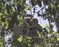 Great Horned Owl Family (raineys) Tags: greathornedowl owlets birds nature wildlife california specanimal