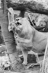 Lion (PeteMartin) Tags: artis bw feeding infrared lion zoo amsterdam netherlands
