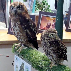 Jensen and Thor (billnbenj) Tags: barrow cumbria owl tawnyowl littleowl raptor birdofprey
