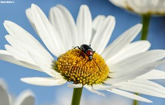 Centered (Mauro Hilário) Tags: flower insect beetle white nature beautiful wildlife portugal scenery angle perspective wideangle closeup detail heliotaurus ruficollis center composition bug