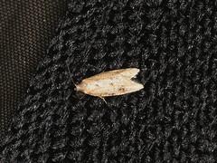 Lepidoptera sp. (dhobern) Tags: 2019 april australia lamingtonnationalpark lepidoptera queensland