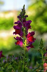 Flower Wales  2019 (akatsoulis) Tags: valeofglamorgan southwales d5300 dxformat apsc 50mm nikkor nikoneurope nikonuk nikon sunnyday wales garden flowers welshflickrcymru spring nature colours