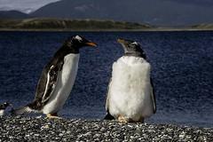 Gelson_1 (Clube do Fotógrafo de Caxias do Sul) Tags: gelsonrocha patagoniaargentina animais gelo natureza top