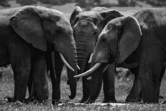 Gelson_4 (Clube do Fotógrafo de Caxias do Sul) Tags: gelsonrocha animais natureza áfricadosul