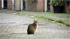Cat (Wouter Bregman) Tags: cat kat chat katze gatto gato animal gortestraat haarlem kennemerland noordholland nederland holland netherlands paysbas