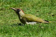Green woodpecker (ChrisPy63) Tags: badnauheim hessen europe nikond7200 nikon greenwoodpecker woodpecker spring parks outside nature birdsofgermany britishbirds birds bird