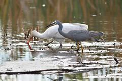 White-faced Heron & Yellow-billed Spoonbill (philk_56) Tags: western australia perth bird herdsman lake white faced heron yellow billed spoonbill water