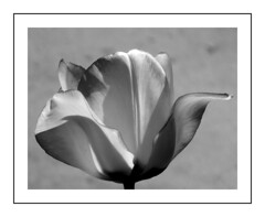 Tulipan B&W. (andrzejskałuba) Tags: poland polska pieszyce plant roślina kwiat kwiaty flower flora floral flowers natura nature natural natureshot natureworld nikoncoolpixb500 macro beautiful biały black blackwhite beauty ogród garden tulip tulipan szary grey white monochrome wiosna silesia sudety dolnyśląsk europe shadow cień czarny 1000v40f 1500v60f