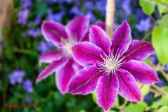 Clématite (Guy_D_2018) Tags: vauréal iledefrance france цветок lule blumen ծաղիկ кветка цвете 花 flower 꽃 cvijet blomst flor lill kukka blodyn ყვავილების λουλούδι virág bunga bláth blóm fiore zieds gėlė цвет voninkazo fjura फूल bloem ਫੁੱਲ gul گل kwiat floare kvetina cvet blomma květina ดอกไม้ çiçek квітка hoa בלום زهرة nikon d90 fleur