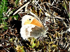 Small Heath 15.5.19 (ericy202) Tags: holme noa path small heath closed wings butterfly