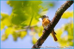 Male Redstart Singing (www.andystuthridgenatureimages.co.uk) Tags: redstart male singing song tree oak canopy dartmoor uk thrush summer spring migrant bird canon