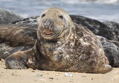 Smiling just for me ! (cazalegg) Tags: seal nikon 300mm f4 wildlife nature sea