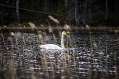 (mabuli90) Tags: finland swan bird water lake forest tree grass