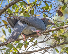 White-crowned Pigeon on branch (wplynn) Tags: patagioenas leucocephala whitecrowned pigeon white crowned wild bird antigua island caribbean westindies threatened endangered galleybay resort spa vulnerable