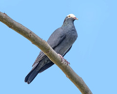 White-crowned Pigeon perching (wplynn) Tags: patagioenas leucocephala whitecrowned pigeon white crowned wild bird antigua island caribbean westindies threatened endangered galleybay resort spa vulnerable
