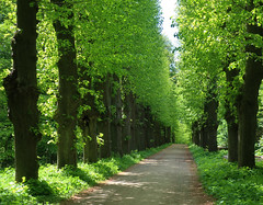 Morning walk in lush and fresh May green (Ingrid0804) Tags: morningwalk gren lush fresh alley path trees may