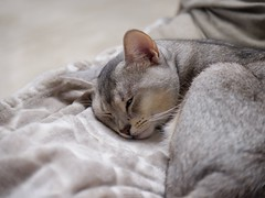 20190329_03_LR (enno7898) Tags: panasonic lumix lumixg9 dcg9 vario 35100mm f28 cat pet abyssinian