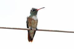 Amazilia Hummingbird, Simbal, Peru October 2018 (Sterna999) Tags: amaziliahummingbird amaziliaamazilialeucophoea lalibertad simbal peru birdsofperu peruvianbirds nature wildlife bird