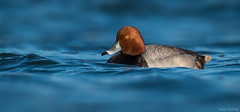 Redhead Duck (Melissa M McCarthy) Tags: redheadduck duck redhead male drake pochard bird animal nature wildlife wild rare waterfowl waterbird water blue orange wading mundypond stjohns newfoundland canada canon7dmarkii canon100400isii