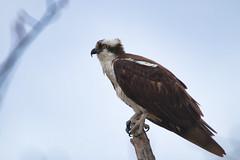Posing Osprey (Pandion haliaetus), Oathill Lake Dartmouth Nova Scotia (internat) Tags: 2019 canada novascotia ns dartmouth oathilllake olcs bird osprey canon100400 eosm5 luminar