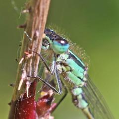 Blue Tailed Damselfly - Michael Bird (Just call me Doc) Tags: ischnuraelegans bluetaileddamselfy damselflies dragonfly dragonflies odonata canon michaelbird macro 6d 100mm f28l corbettsmeadow attenboroughnaturereserve attenborough nottinghamshire