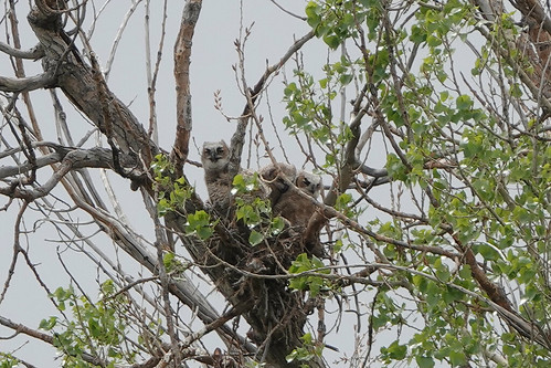 The Great Horned Owl Nest is Crowded with Three Owlets