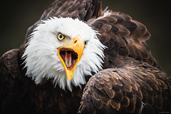 Bald Eagle - Cleebronn, Germany (Sebastian Bayer) Tags: bokeh augen schnabel greifvogel adler tier blick ruf seeadler raubtier zunge federn natur vogel weiskopfseeadler schrei detail
