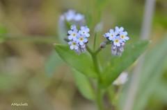 ...  Non ti scordar di me ! ... abito in collina e sono meno appariscente di quello di montagna (Plebejus argus) Tags: myosotisarvensisssparvensis nontiscordardime boraginaceae dicotiledoni flora montilepini laziomeridionale