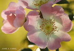 Contraluz (Jose A. Casal) Tags: rosacaninarosalsilvestre escaramujo rosalperruno zarzarrosa agavanzorosaceaerosáceas