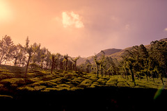 some trees in a tea garden (Rajiv Lather) Tags: kerala india trees teagarden plantation sun flare hills munnar