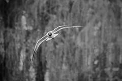 A Sharp Turn / Вираж (Boris Kukushkin) Tags: seagull motion flight bw чайка движение полет чб