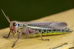 Shiny Exterior, Pt. 3 - _TNY_2990 (In Explore 15/5 2019) (Calle Söderberg) Tags: macro canon canon5dmkii canoneos5dmarkii canonef100mmf28usmmacro canon5dmarkii 5d2 flash meike mk300 glassdiffusor raynox dcr250 insect grasshopper locust largemarshgrasshopper mecostethus grossus yellow pink gräshoppa kärrgräshoppa acrididae stethophyma caelifera locustinae markgräshoppa shiny compoundeyes f22 inexplore explored