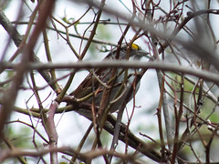 2014-05-03 03 (clarinetgirl) Tags: 2014 may bird birding 20140503 whitethroatedsparrow