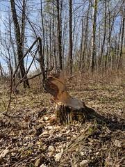 A Beaver's Work | Lloydminster, Alberta, Canada. (TheNovaScotian1991) Tags: