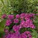 Flowers at Sapokka Water Garden 494
