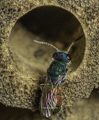 Ruby-tailed wasp - Chrysis ignita...Yodel-oh-ee-dee Diddly-odel-oh-ee-dee-yodel-oh-dee.. (stevenbailey7) Tags: nature countryside insects macro wldlife shot entomology biology earth animals plants focus arthropods invertebrate natural bbcearth pose detail nice top beautiful wales walesonline flickr tamron nikon antennae colourful colour wildlife upclose outside garden new naturephotography macrophotography portrait fly flies houdinifly beehotel cleptoparasites ethology explore uk insect flying springwatch wasps solitarywasps cuckoowasp diptera flyinginsects