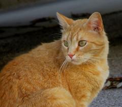 IMG_2494 (kennethkonica) Tags: cat animalplanet animal animaleyes canonpowershot canon indianapolis indiana indy usa hoosier midwest pet america random outdoor