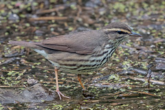 WaterBoy (jmishefske) Tags: wehr wisconsin waterthrush warbler nikon park bird nature d500 northern center whitnall milwaukee 2019 franklin may